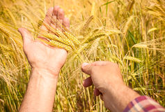 Wheat ears in the hands Royalty Free Stock Photos