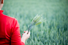Wheat ears in the hands Stock Photo