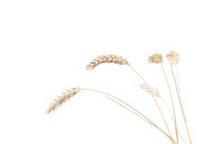 Wheat ears after the harvest. Royalty Free Stock Images