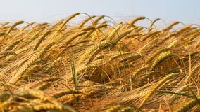 Wheat ears. Stock Photos