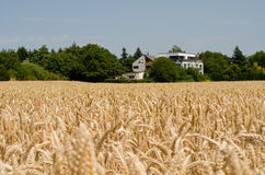 Wheat ears  and hause against the sky Royalty Free Stock Image