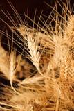 Wheat ears. Isolated on black Stock Photos