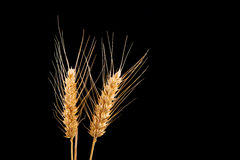 Wheat ears isolated on black background Royalty Free Stock Photography