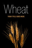 Wheat ears isolated on black background Stock Photography