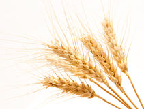 Wheat ears isolated on a white Stock Photography