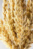Wheat ears isolated on white background Stock Images