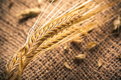Wheat ears. Isolated on white background Royalty Free Stock Image