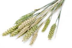 Wheat ears, large DOF Royalty Free Stock Image