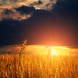 Wheat ears and light on sunset sky Royalty Free Stock Images