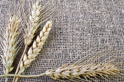 Wheat ears lying on sacking Stock Images