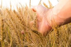 Wheat ears in the man's hand. Field on sunset Harvest concept. Royalty Free Stock Image