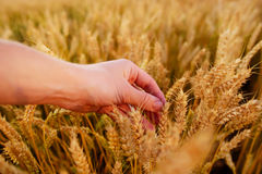 Wheat ears in the man& x27;s hand. Field on sunset Harvest concept. Stock Images