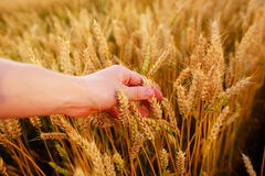 Wheat ears in the man& x27;s hand. Field on sunset Harvest concept. Royalty Free Stock Images