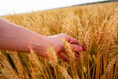 Wheat ears in the man& x27;s hand. Field on sunset Harvest concept. Royalty Free Stock Image