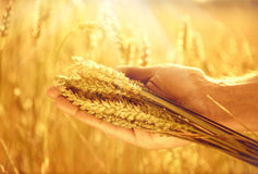 Wheat ears in man's hand Royalty Free Stock Photo