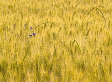 Wheat ears in a meadow Royalty Free Stock Photos