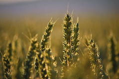 Wheat ears in the middle of the field Stock Images