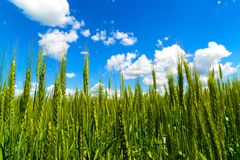 Wheat ears photographed from below against a beautiful sky Stock Photography