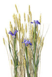 Wheat ears and purple iris Royalty Free Stock Image