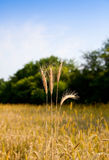 Wheat ears ready to harvest Stock Image