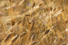 Wheat ears with ripe grains on a field Stock Photos