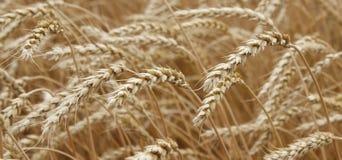 Wheat ears. Ears of ripe wheat growing in a wheat field Stock Image