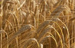 Wheat ears. Ripe ears of wheat harvest waiting Royalty Free Stock Images