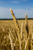 Wheat ears ripen in a field. Against a blue sky background Stock Photos
