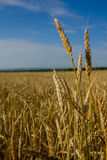 Wheat ears ripen in a field. Against a blue sky background Stock Photography