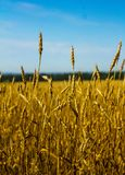 Wheat ears ripen in a field. Against a blue sky background Stock Images
