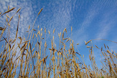 Wheat ears ripen in a field. Against a blue sky background Royalty Free Stock Photo