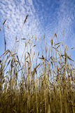 Wheat ears ripen in a field. Against a blue sky background Royalty Free Stock Photos
