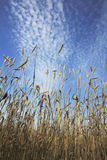 Wheat ears ripen in a field. Against a blue sky background Royalty Free Stock Image