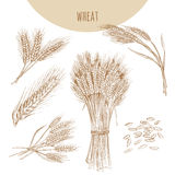 Wheat ears, sheaf and grains. Cereals sketch hand drawn drawing. Royalty Free Stock Photography