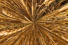 Wheat ears shot from above macro shot royalty free stock images