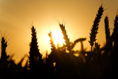 Wheat ears silhouettes Royalty Free Stock Images