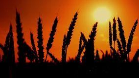 Wheat ears silhouettes in agricultural cultivated wheat field. Stock Image