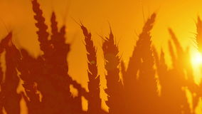 Wheat ears silhouettes in agricultural cultivated wheat field. Stock Photo