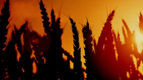 Wheat ears silhouettes in agricultural cultivated wheat field. Royalty Free Stock Photos