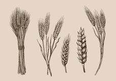Wheat ears sketch. Vector hand drawn wheat ears sketch doodle vector illustration