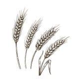 Wheat ears sketch Stock Photo