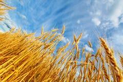 Wheat ears and sky Stock Photos