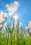 Wheat ears and sky with sun Royalty Free Stock Photos
