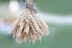 Wheat ears stalks bouquet macro view photo. Green background. Shallow depth of field, selective focus.  stock photo