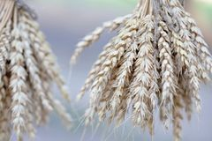 Wheat ears stalks bouquet macro view photo. Shallow depth of field, selective focus. Wheat ears stalks bouquet macro view photo. Shallow depth of field stock photos