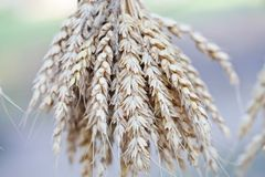 Wheat ears stalks bouquet macro view photo. Shallow depth of field, selective focus.  royalty free stock photo