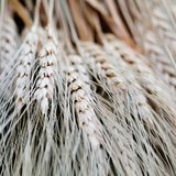 Wheat ears stalks bouquet macro view photo. Shallow depth of field, selective focus. Wheat ears stalks bouquet macro view photo. Shallow depth of field stock images