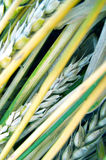 Wheat ears and straw Stock Image