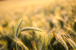 Wheat ears in summer Stock Photo