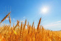 Wheat ears and sun Stock Images